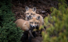 Picture forest, nature, Fox, cubs