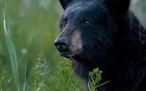 Picture grass, look, face, portrait, bear, Baribal, Black bear