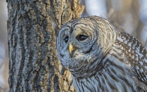 Picture tree, owl, bird, A barred owl