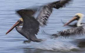 Picture bird, wings, beak, blur, Pelican