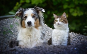 Picture cat, dog, a couple, friends, Australian shepherd, portrait