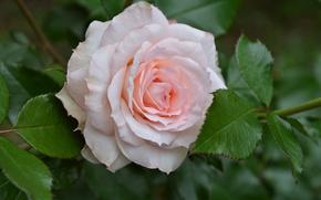 Wallpaper leaves, macro, tenderness, rose