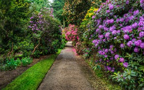 Picture greens, trees, flowers, Park, track, UK, alley, the bushes, rhododendron, Cheshire, Hare Hill Park