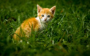 Picture grass, kitty, muzzle, ginger kitten