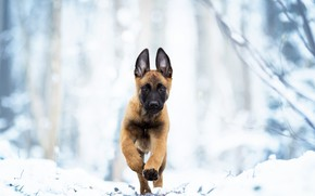 Picture winter, snow, dog, puppy, walk, Belgian Malinois