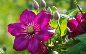 Picture summer, flowers, nature, beauty, plants, positive, flowering, cottage, flora, clematis, July, clematis, perennials