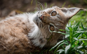 Wallpaper grass, look, stay, color, lynx, ears