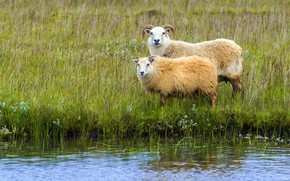 Picture greens, animals, grass, nature, shore, sheep, river, RAM, sheep, Iceland, sheep, sheep, artiodactyls