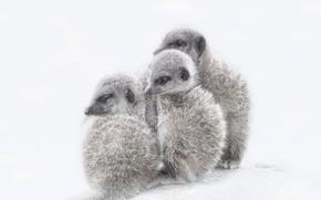 Picture nature, background, meerkats