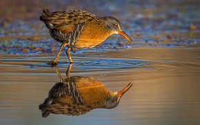Picture water, reflection, bird, beak, Central American shepherd