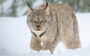Picture winter, look, snow, wild cat, Lynx