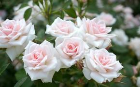 Picture leaves, flowers, Bush, roses, petals, flowers, leaves, petals, roses, bush
