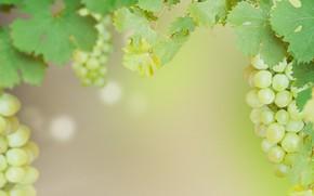 Picture grapes, bunch, Grape