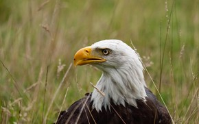 Picture grass, bird, beak, bald eagle