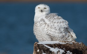 Picture winter, blue, nature, background, owl, bird, stump, feathers, white, sitting, polar