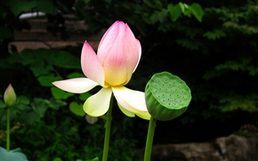Picture Flowers, Lotus, Lotos