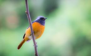 Picture birds, branch, Siberian Redstart