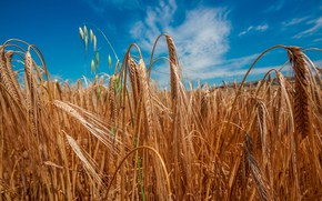 Picture wheat, field, the sky, the sun, ears