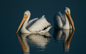 Picture water, birds, reflection, background, two, ruffle, pair, white, pond, swimming, pelicans