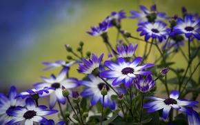 Picture petals, buds, Cineraria