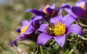 Wallpaper spring, bee, anemone, macro