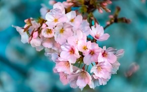 Picture flowers, nature, cherry, background, Wallpaper, branch, spring, garden
