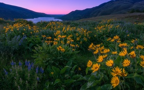 Picture flowers, mountains, river, dawn, morning, meadow, Oregon, Oregon, Columbia River, lupins, Columbia River Gorge, the …
