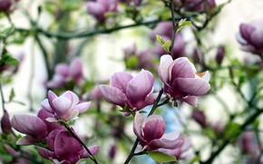 Picture flowers, pink, Magnolia