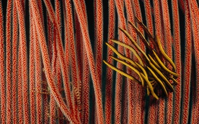 Picture Australia, QLD, The Great Barrier Reef, sea Lily, the gorgonians