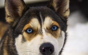Picture eyes, each, dog
