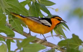 Picture leaves, bird, branch, beak, tail, color trupial bullock