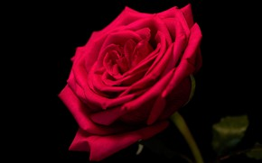 Picture rose, beauty, red