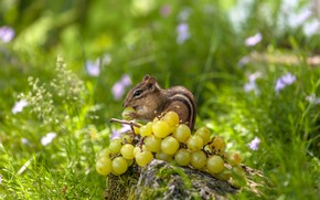 Picture grass, grapes, Chipmunk