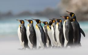 Picture birds, penguins, bokeh, Royal penguin