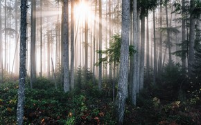Picture The sun, Nature, Trees, Forest, Light, Thickets
