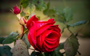 Picture leaves, blur, scarlet rose, drops