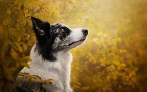 Wallpaper autumn, branches, bokeh, profile, face, The border collie, dog, portrait