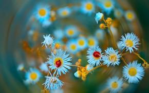 Picture macro, flowers, nature, ladybugs, Katrin Suroleiska