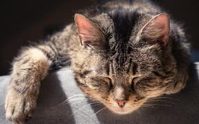 Picture cat, cat, sleep, muzzle, sleeping cat