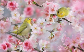 Picture birds, branches, nature, spring, pair, flowers, bokeh, the white-eye