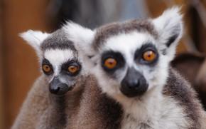 Picture look, animal, lemur, pug