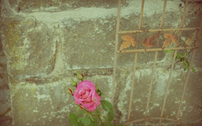 Picture wall, rose, flower
