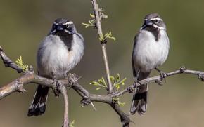 Picture bird, branch, pair, desert oatmeal