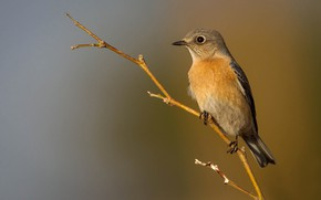 Picture bird, branch, beak, female, Western sialia