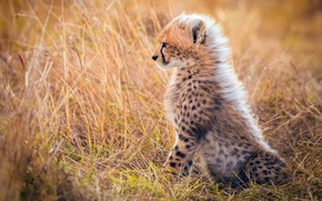 Wallpaper grass, wool, mane, Cheetah, Africa, cub