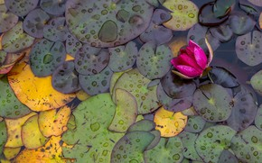 Picture leaves, pond, water lilies