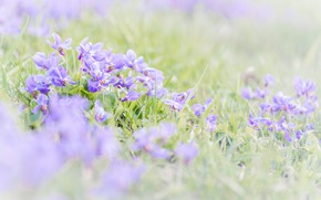 Picture grass, spring, violet