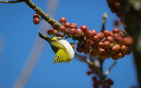Picture berries, birds, branch, Japanese white-eye