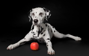 Wallpaper black background, puppy, Apple, Dalmatian, portrait, dog
