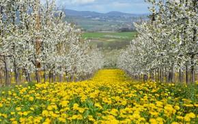 Picture trees, flowers, nature, garden, dandelions